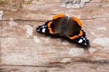 und wieder ein Schmetterling am Wegesrand