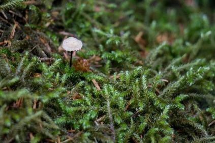 Miniaturpilz im Moos