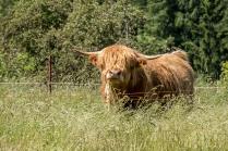 Noch ein Rind am Wegesrand